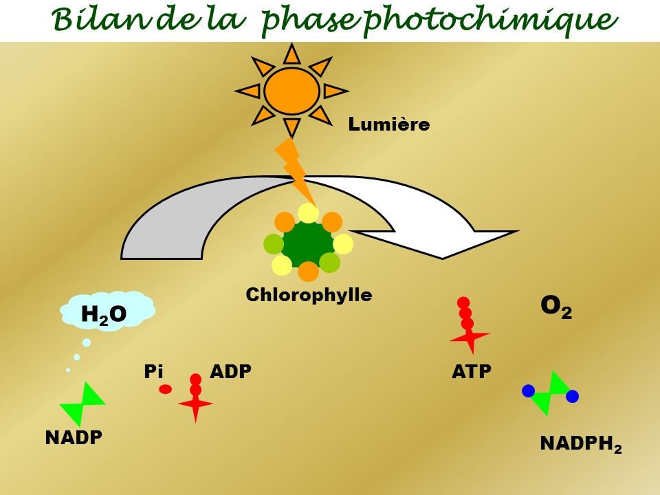 Bilan de la phase photochimique O2O2 NADPH 2 ATP ADP H2OH2O NADP Pi Chlorophylle Lumière