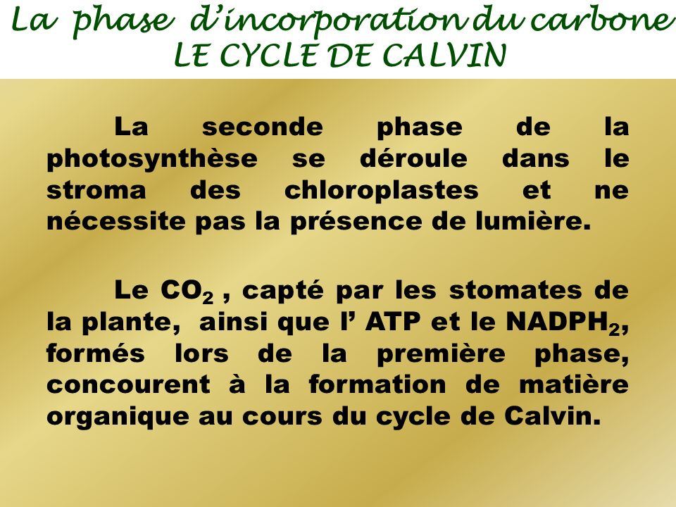 La phase dincorporation du carbone LE CYCLE DE CALVIN La seconde phase de la photosynthèse se déroule dans le stroma des chloroplastes et ne nécessite