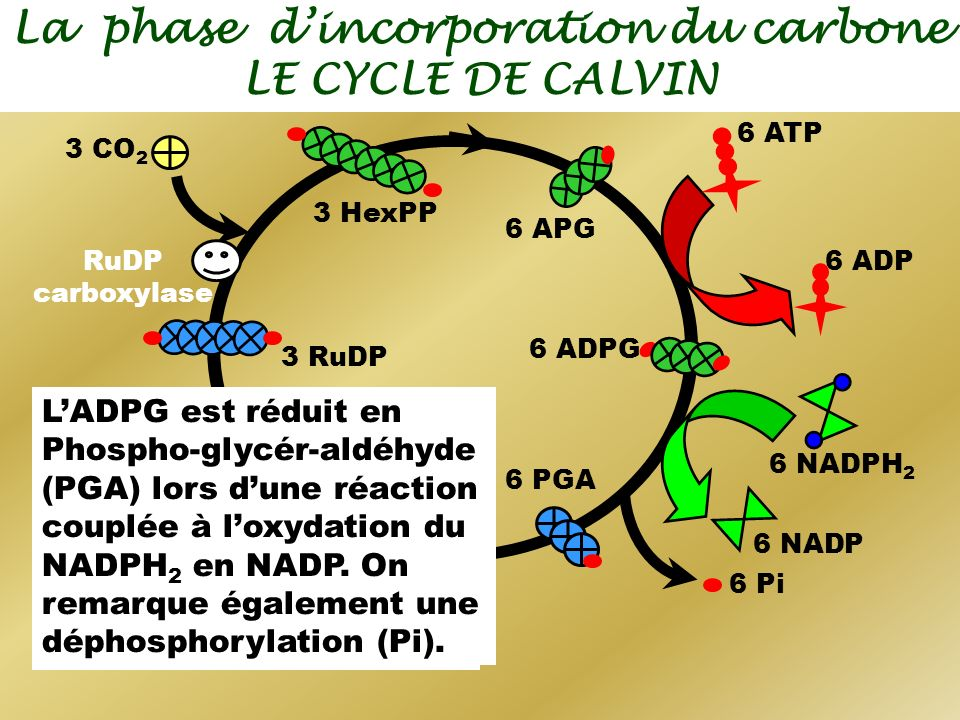 La phase dincorporation du carbone LE CYCLE DE CALVIN 3 CO 2 RuDP carboxylase 3 HexPP 3 RuDP 6 APG 6 ADPG 6 ADP 6 ATP - LAPG est phosphorylé en ADPG (