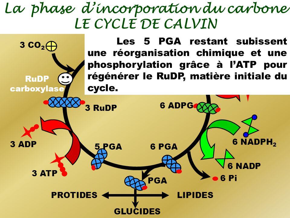 La phase dincorporation du carbone LE CYCLE DE CALVIN 6 NADPH 2 6 ADP 6 NADP 6 Pi 6 ATP 3 CO 2 RuDP carboxylase 3 HexPP 3 RuDP 6 PGA 6 ADPG 6 APG PGA