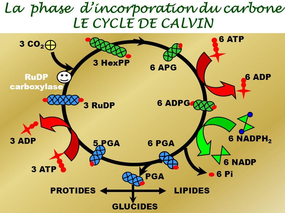 La phase dincorporation du carbone LE CYCLE DE CALVIN 6 NADPH 2 3 ATP 6 ADP 6 NADP 6 Pi 6 ATP 3 ADP 3 CO 2 RuDP carboxylase 3 HexPP 3 RuDP 6 PGA 6 ADP