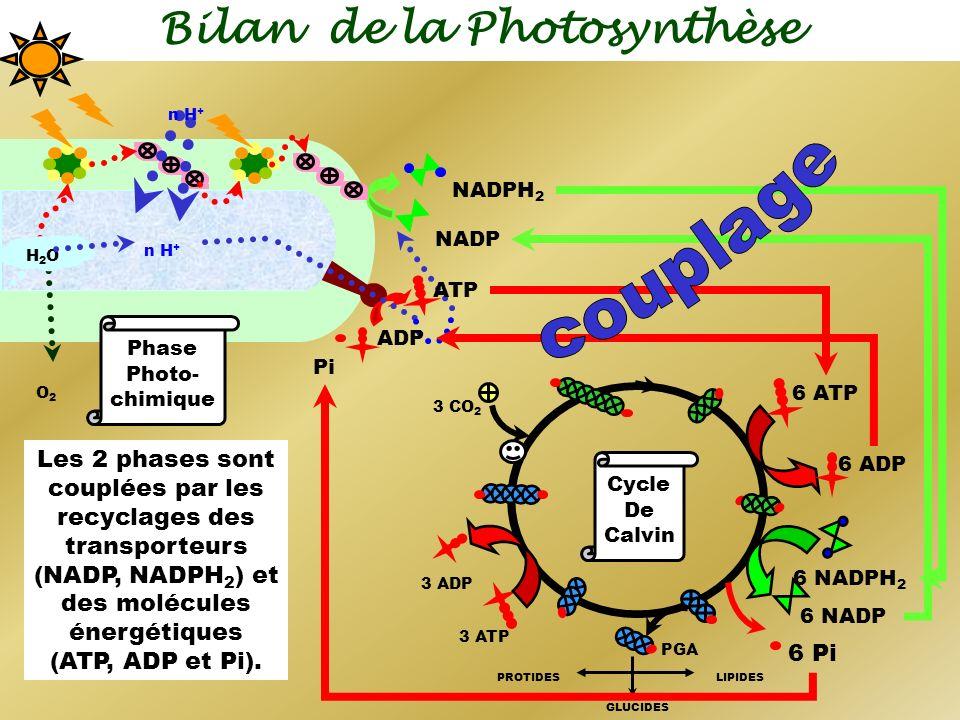 Bilan de la Photosynthèse n H + O2O2 NADP NADPH 2 ADP Pi H2OH2O n H + ATP Phase Photo- chimique 6 NADPH 2 3 ATP 6 ADP 6 NADP 6 Pi 6 ATP 3 ADP 3 CO 2 P