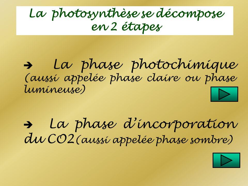 La photosynthèse se décompose en 2 étapes La phase photochimique (aussi appelée phase claire ou phase lumineuse) La phase dincorporation du CO2 (aussi