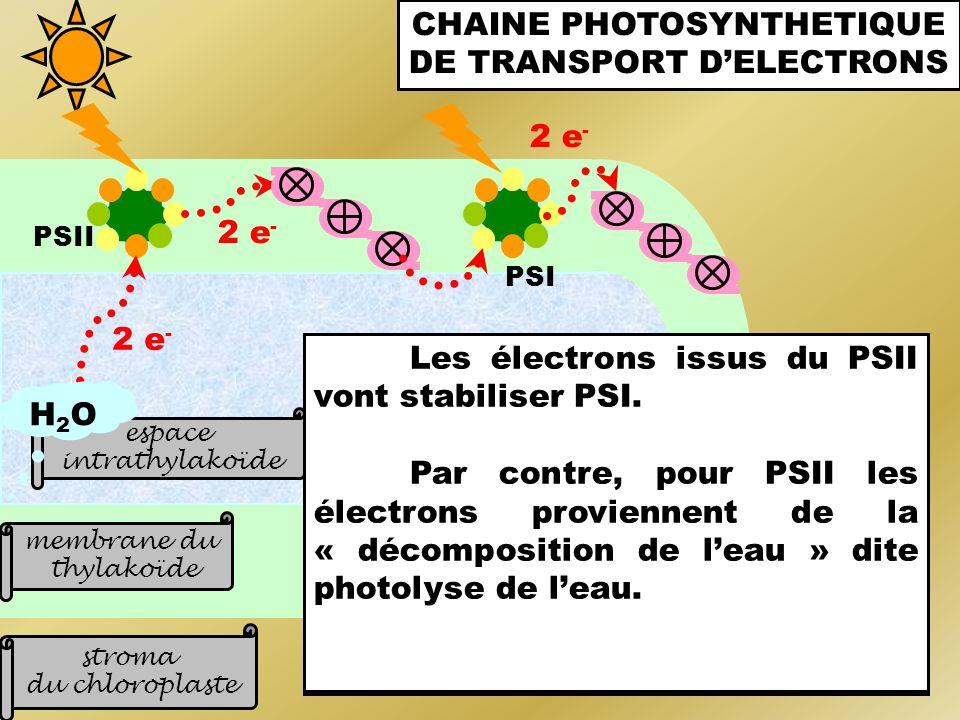 stroma du chloroplaste membrane du thylakoïde PSI PSII La membrane des thylakoïdes contient de nombreux photosystèmes toujours associés par 2 (PSI et