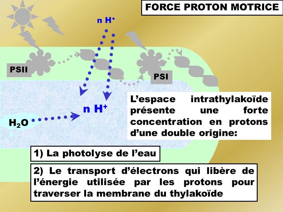 PSI PSII FORCE PROTON MOTRICE n H + Lespace intrathylakoïde présente une forte concentration en protons dune double origine: H2OH2O 1) La photolyse de