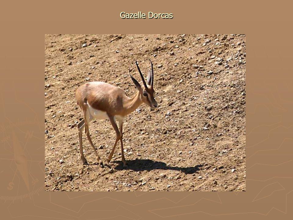 Gazelle Dorcas