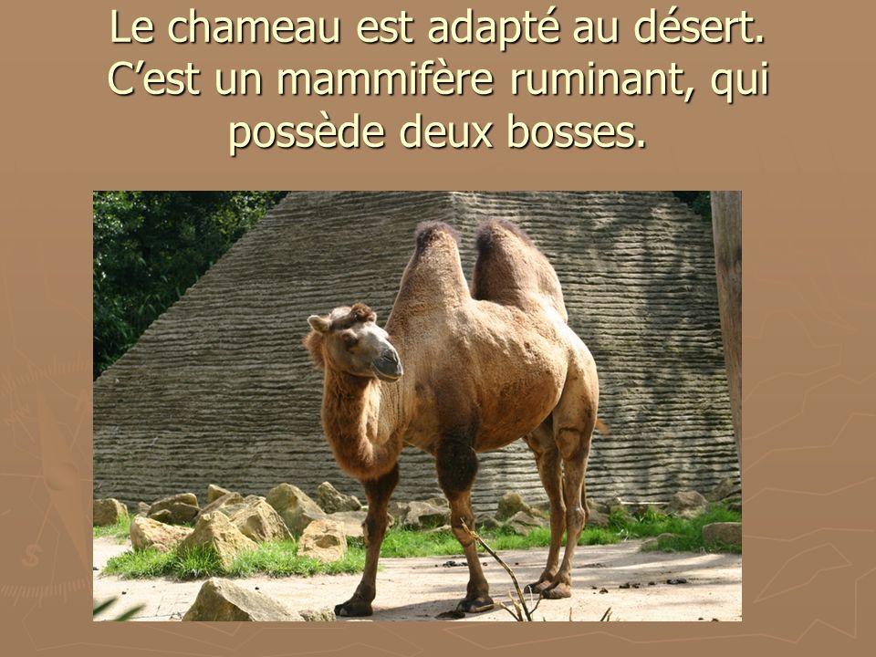 Le chameau est adapté au désert. Cest un mammifère ruminant, qui possède deux bosses.