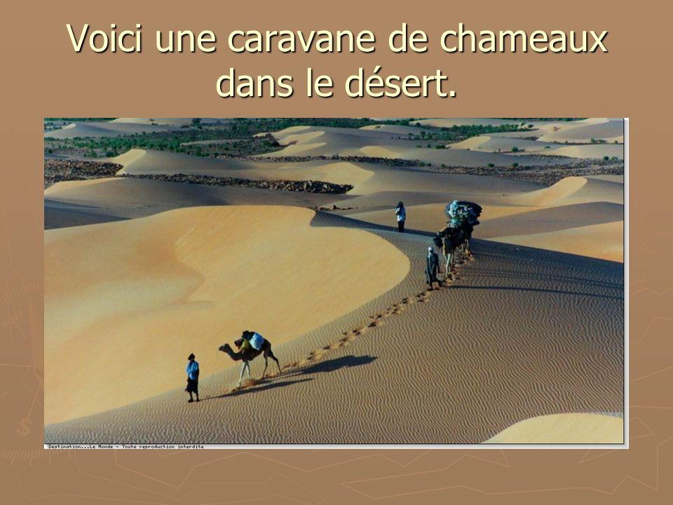Voici une caravane de chameaux dans le désert.