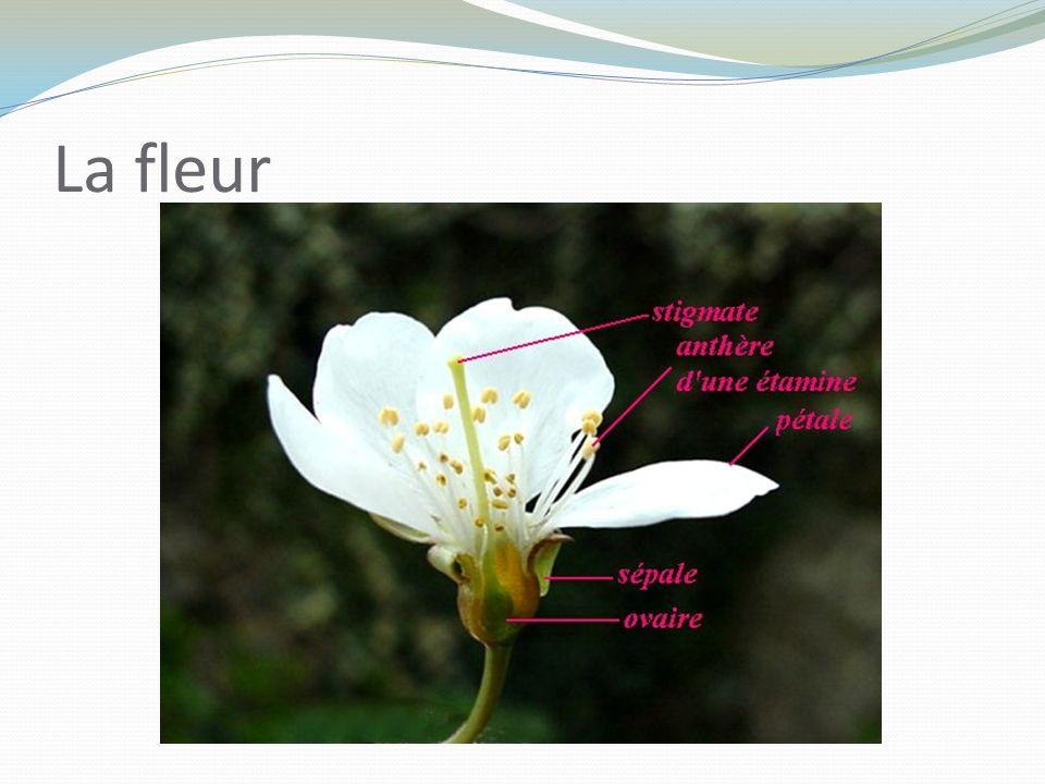 La cerise : de la fleur au fruit 1. BOUTON2. FLEUR3. FLEUR 4. FRUIT5. FRUIT6. FRUIT