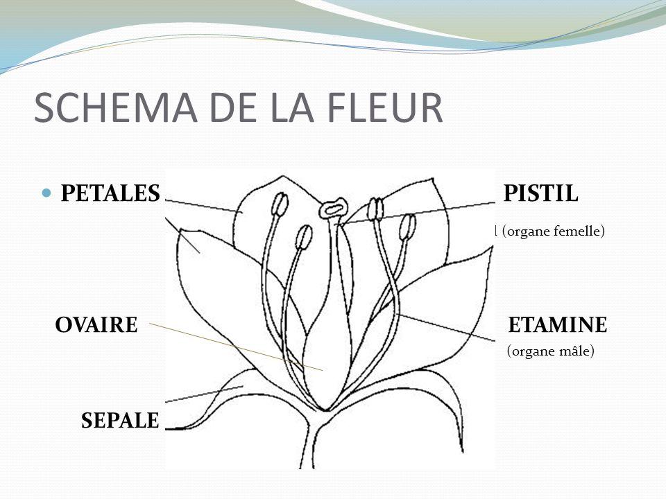 Leçon Lorsquune fleur se fane, son pistil grossit et devient un fruit contenant des graines.