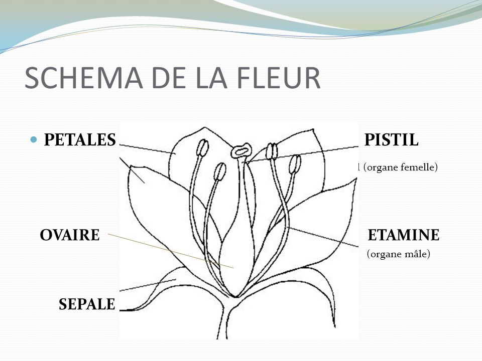 SCHEMA DE LA FLEUR PETALES PISTIL (vkl (organe femelle) OVAIRE ETAMINE (organe mâle) SEPALE