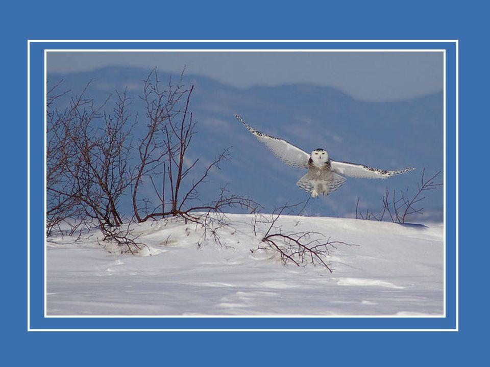 L'harfang des neiges préfère les petits mammifères d'Arctique. Il mange des lièvres arctiques, des lagopèdes, des oiseaux des mers et son mets favori