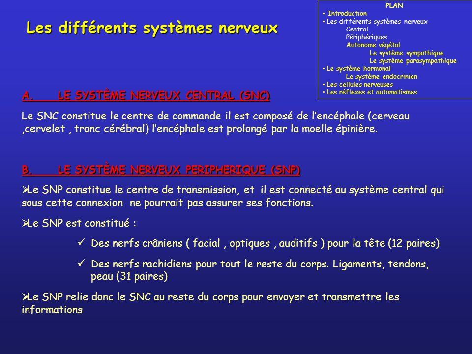 A. LE SYSTÈME NERVEUX CENTRAL (SNC) Le SNC constitue le centre de commande il est composé de lencéphale (cerveau,cervelet, tronc cérébral) lencéphale