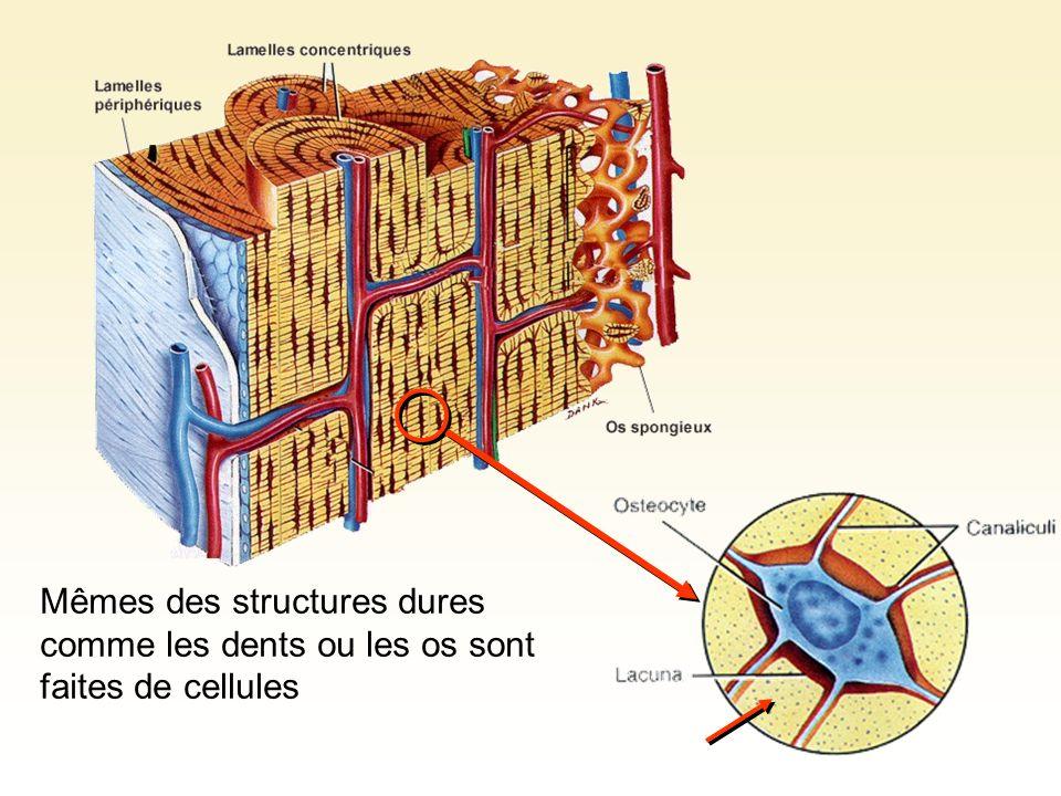 Protéines et sels minéraux Mêmes des structures dures comme les dents ou les os sont faites de cellules