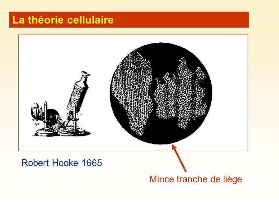 La théorie cellulaire Robert Hooke 1665 Mince tranche de liège