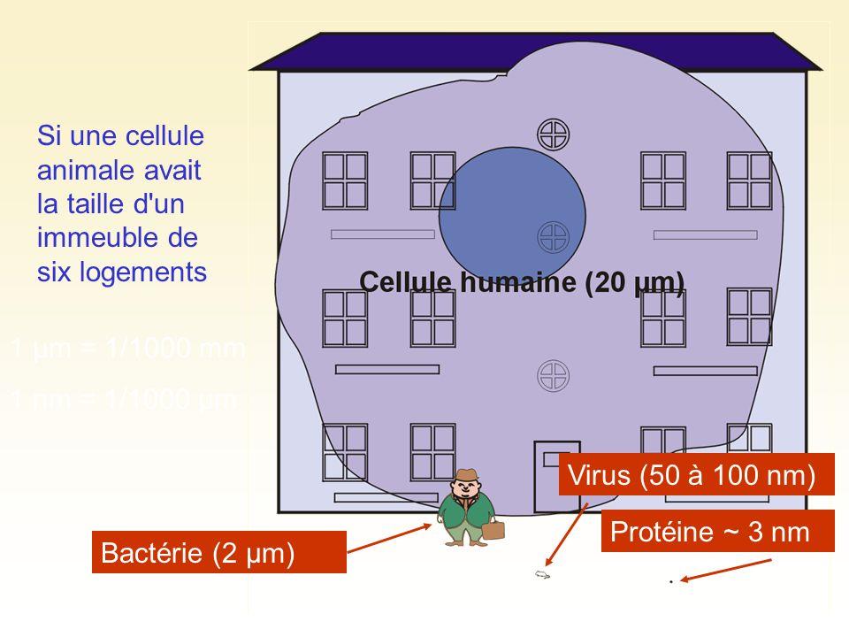 Bactérie (2 µm) Virus (50 à 100 nm) Protéine ~ 3 nm Si une cellule animale avait la taille d'un immeuble de six logements 1 µm = 1/1000 mm 1 nm = 1/10