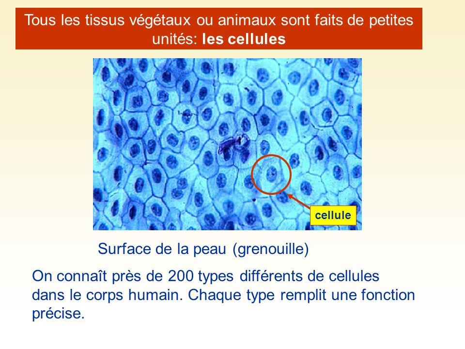 Tous les tissus végétaux ou animaux sont faits de petites unités: les cellules Surface de la peau (grenouille) On connaît près de 200 types différents