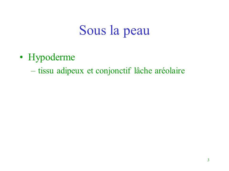 3 Sous la peau Hypoderme –tissu adipeux et conjonctif lâche aréolaire