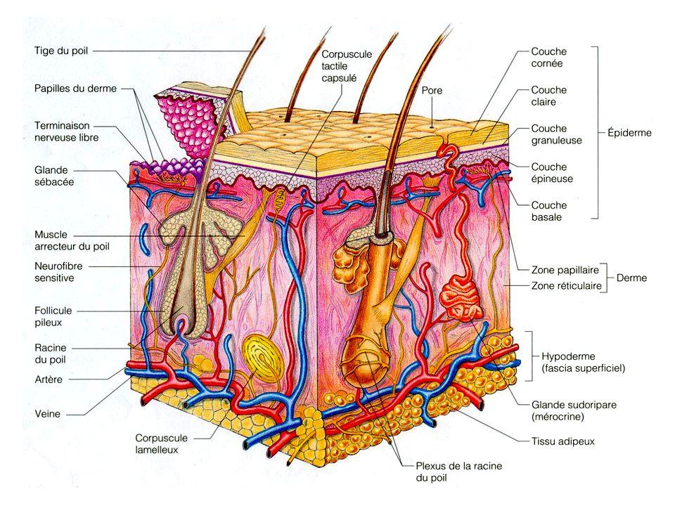 35 Fonctions (fin) Fonctions métaboliques cholestérol rayons lamda précurseur vitamine D permet absorption Ca 2+ Réservoir sanguin 5 % du volume Excrétion déchets