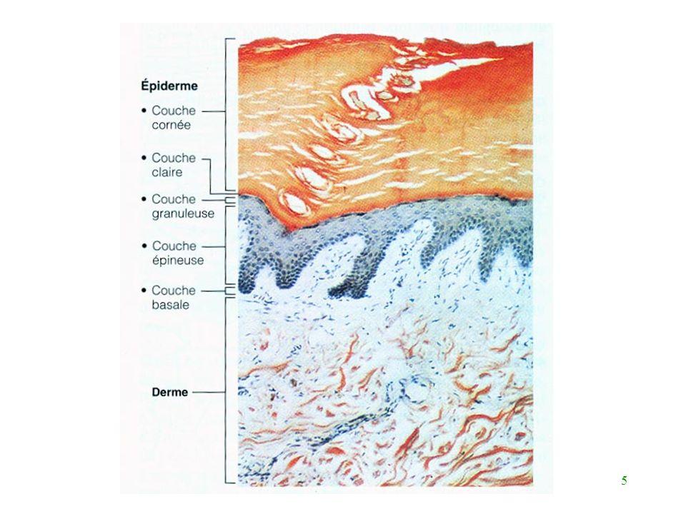 16 Les cellules de l épiderme (suite) Macrophagocytes intraépidermiques activation du système immunitaire