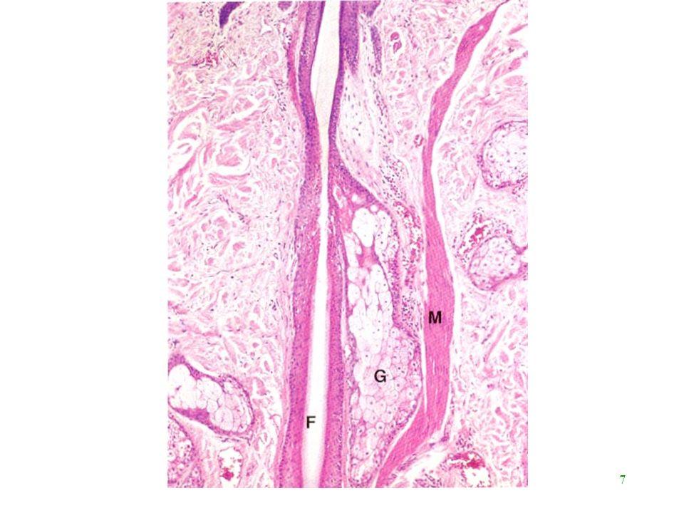28 Mélanine Couleur dépend –type de mélanine ( jaune (asie) - roux - noir) –qté de mélanine –Vitesse de dégradation par kératinocytes