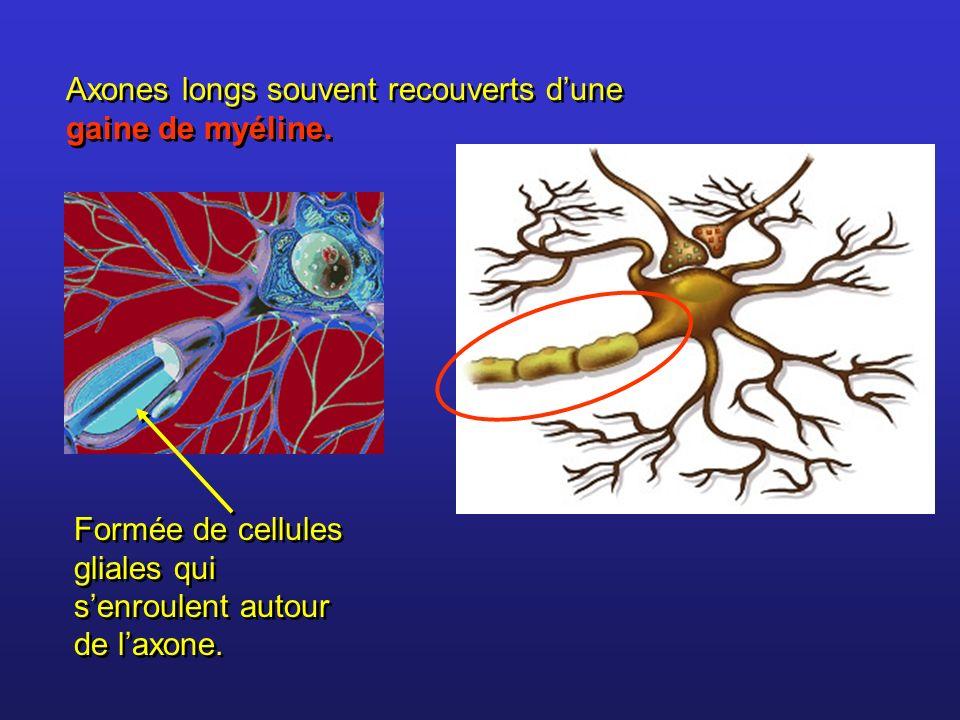 Axones longs souvent recouverts dune gaine de myéline. Formée de cellules gliales qui senroulent autour de laxone.
