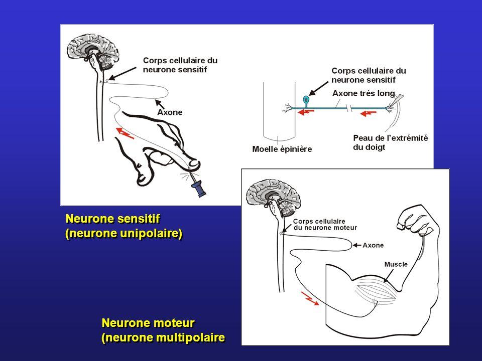 Neurone sensitif (neurone unipolaire) Neurone moteur (neurone multipolaire