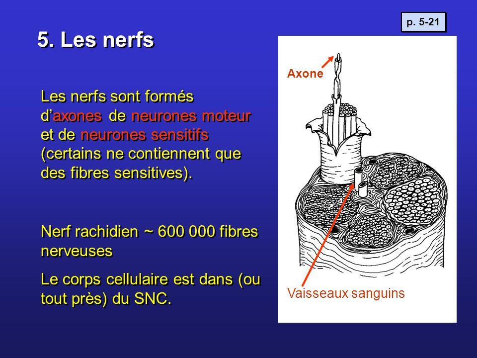 5. Les nerfs Les nerfs sont formés daxones de neurones moteur et de neurones sensitifs (certains ne contiennent que des fibres sensitives). Nerf rachi