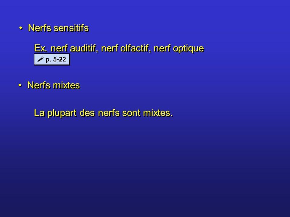Nerfs sensitifs Nerfs mixtes Ex. nerf auditif, nerf olfactif, nerf optique La plupart des nerfs sont mixtes. p. 5-22
