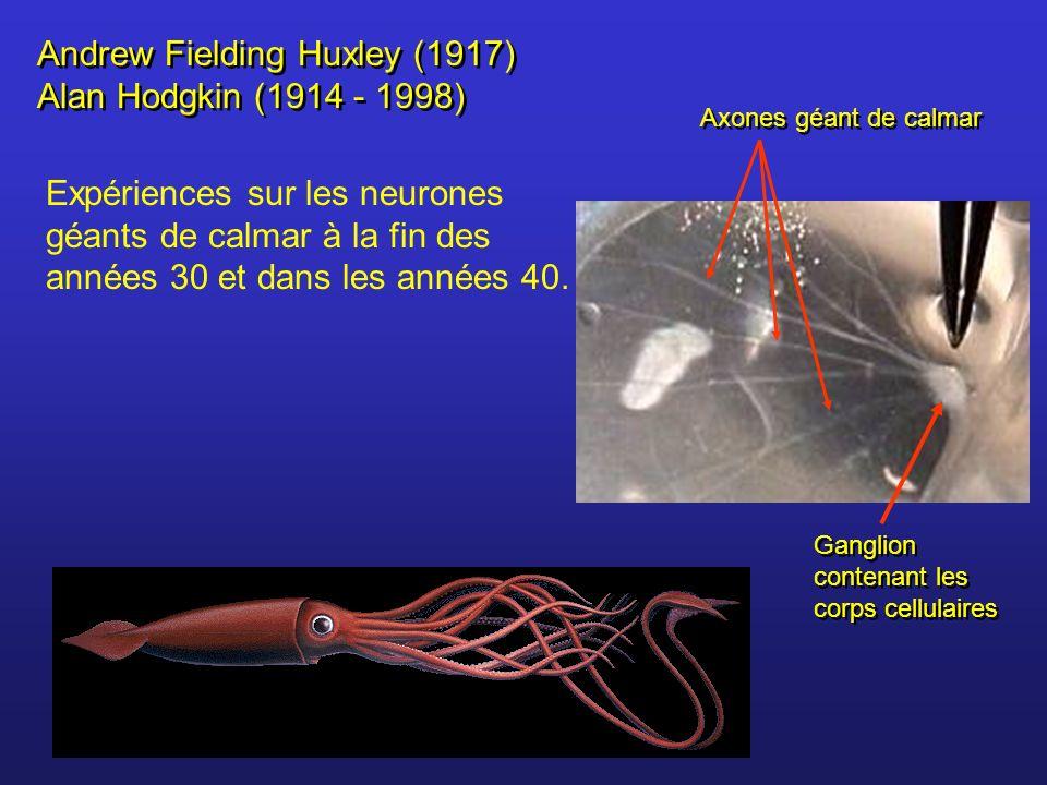 Andrew Fielding Huxley (1917) Alan Hodgkin (1914 - 1998) Expériences sur les neurones géants de calmar à la fin des années 30 et dans les années 40. A