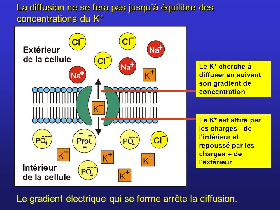 Le K + cherche à diffuser en suivant son gradient de concentration Le K + est attiré par les charges - de l'intérieur et repoussé par les charges + de