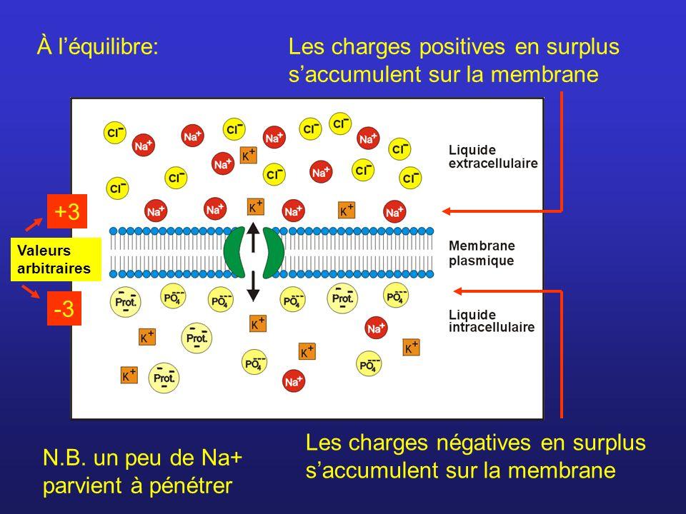 Les charges positives en surplus saccumulent sur la membrane Les charges négatives en surplus saccumulent sur la membrane À léquilibre: N.B. un peu de