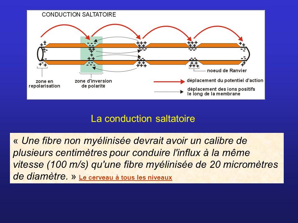La conduction saltatoire « Une fibre non myélinisée devrait avoir un calibre de plusieurs centimètres pour conduire l'influx à la même vitesse (100 m/