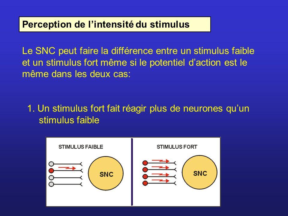 Perception de lintensité du stimulus Le SNC peut faire la différence entre un stimulus faible et un stimulus fort même si le potentiel daction est le