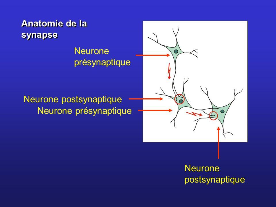 Anatomie de la synapse Neurone présynaptique Neurone postsynaptique Neurone présynaptique Neurone postsynaptique
