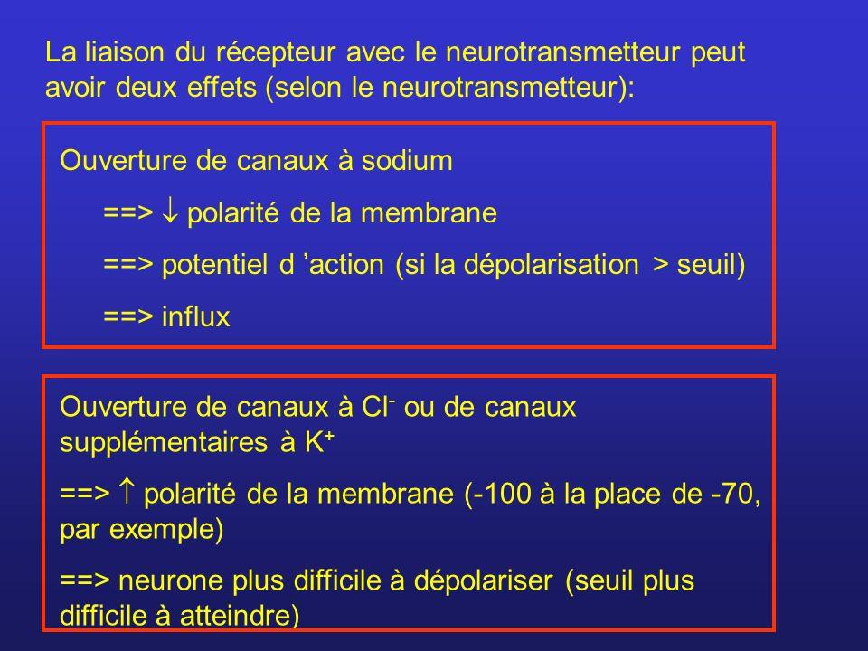 La liaison du récepteur avec le neurotransmetteur peut avoir deux effets (selon le neurotransmetteur): Ouverture de canaux à sodium ==> polarité de la