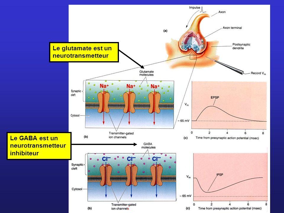 Le glutamate est un neurotransmetteur Le GABA est un neurotransmetteur inhibiteur