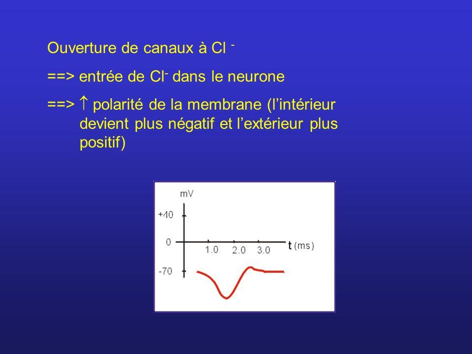 Ouverture de canaux à Cl - ==> entrée de Cl - dans le neurone ==> polarité de la membrane (lintérieur devient plus négatif et lextérieur plus positif)