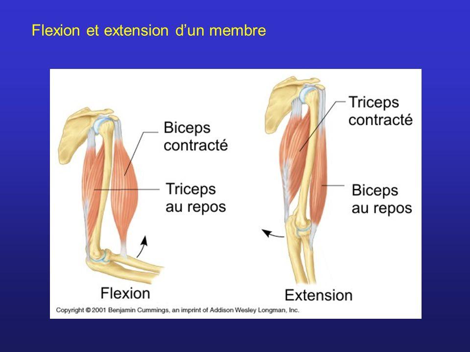 Flexion et extension dun membre