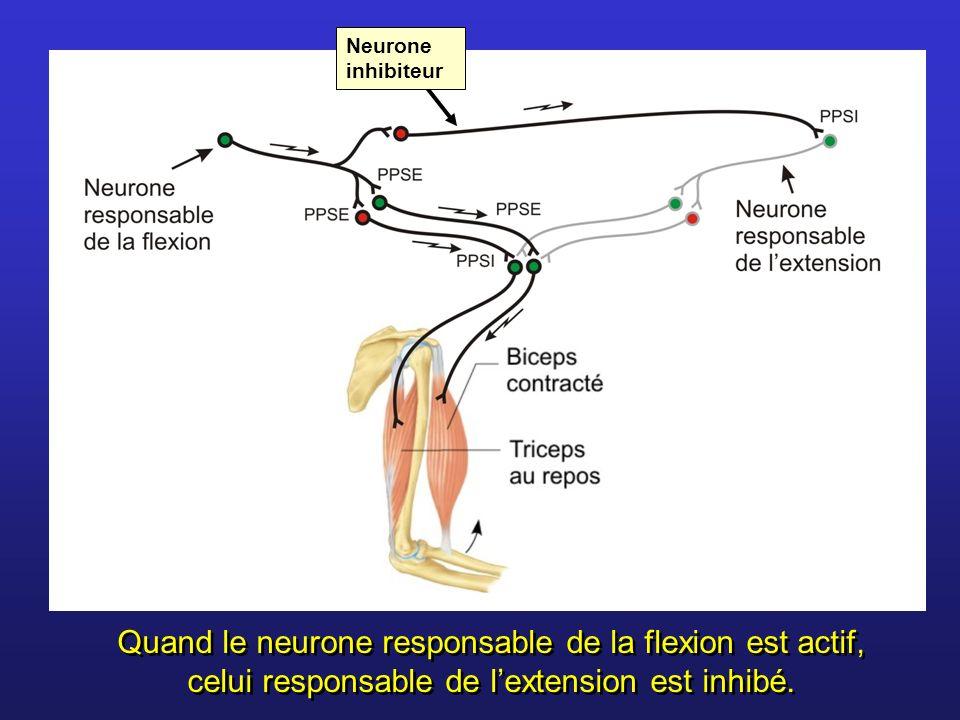 Quand le neurone responsable de la flexion est actif, celui responsable de lextension est inhibé. Neurone inhibiteur