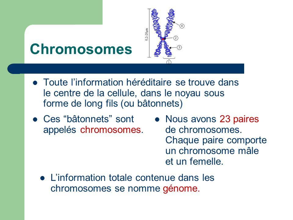 Chromosomes Toute linformation héréditaire se trouve dans le centre de la cellule, dans le noyau sous forme de long fils (ou bâtonnets) Ces bâtonnets sont appelés chromosomes.