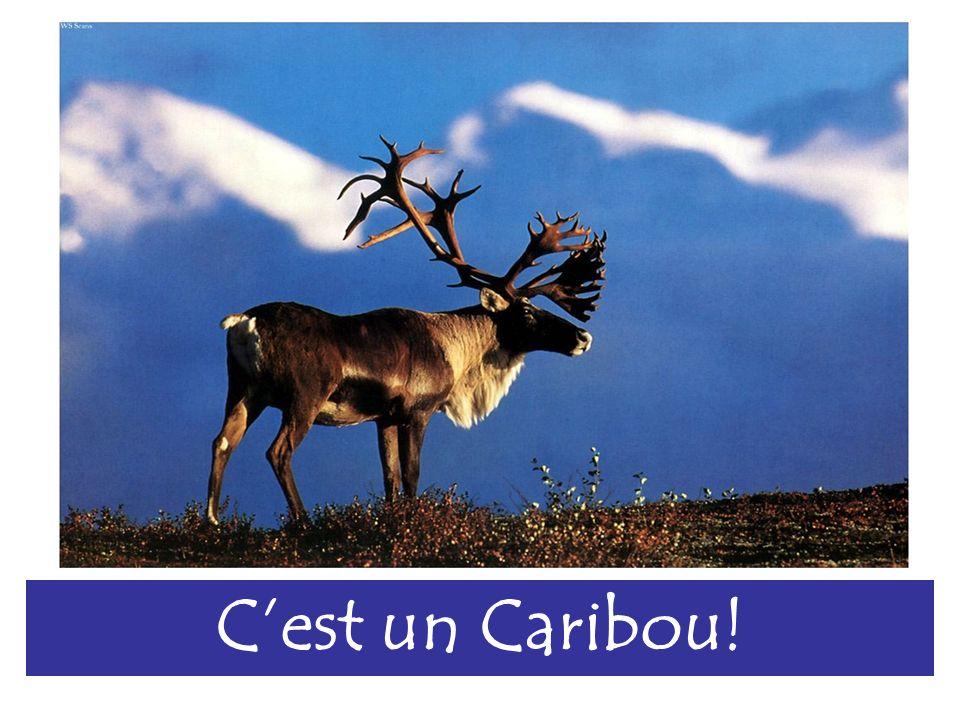 Cest un Caribou!