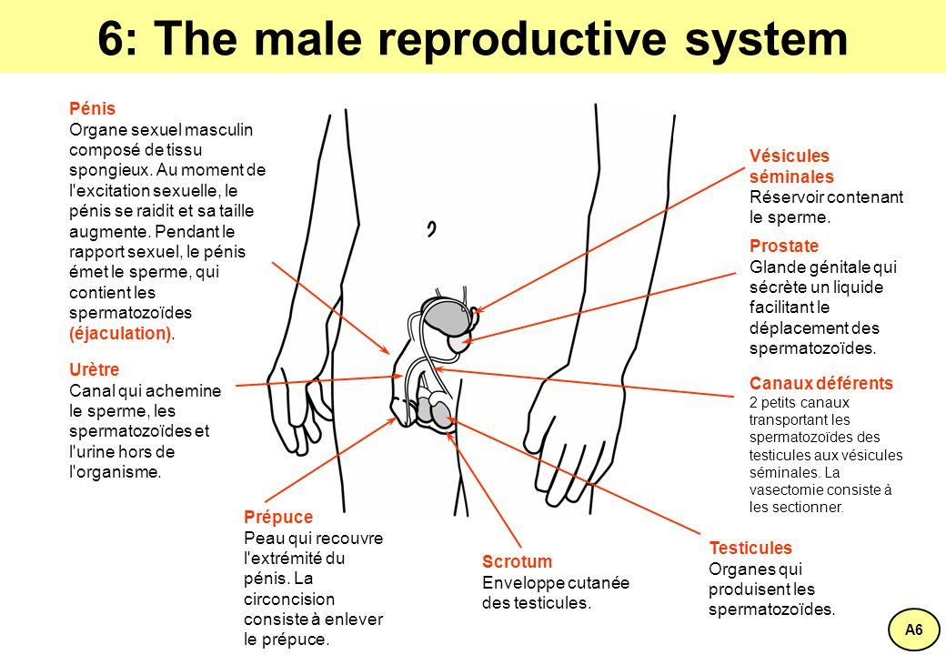 6: The male reproductive system Vésicules séminales Réservoir contenant le sperme.