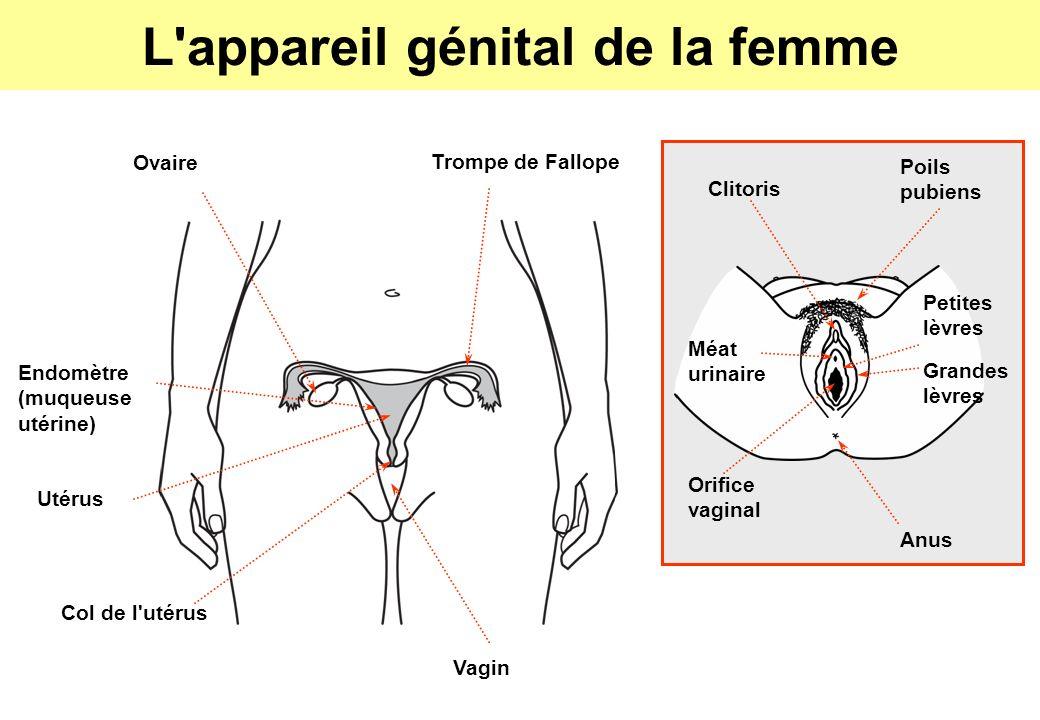 L appareil génital de la femme Trompe de Fallope Clitoris Ovaire Endomètre (muqueuse utérine) Utérus Col de l utérus Vagin Petites lèvres Orifice vaginal Anus Poils pubiens Grandes lèvres Méat urinaire
