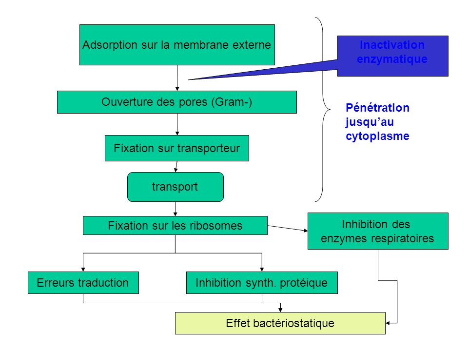Il est complexe mais commun pour tout le groupe Fixation au ribosome perturbation de la traduction des m-RNA (altération de la conformation) Perturbation des phases de la synthèse protéique : initiation, élongation et terminaison Perturbation nucléaire et altération de la réplication de lADN Mécanisme tobramycine
