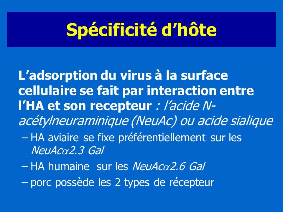 Spécificité dhôte Ladsorption du virus à la surface cellulaire se fait par interaction entre lHA et son recepteur : lacide N- acétylneuraminique (NeuA