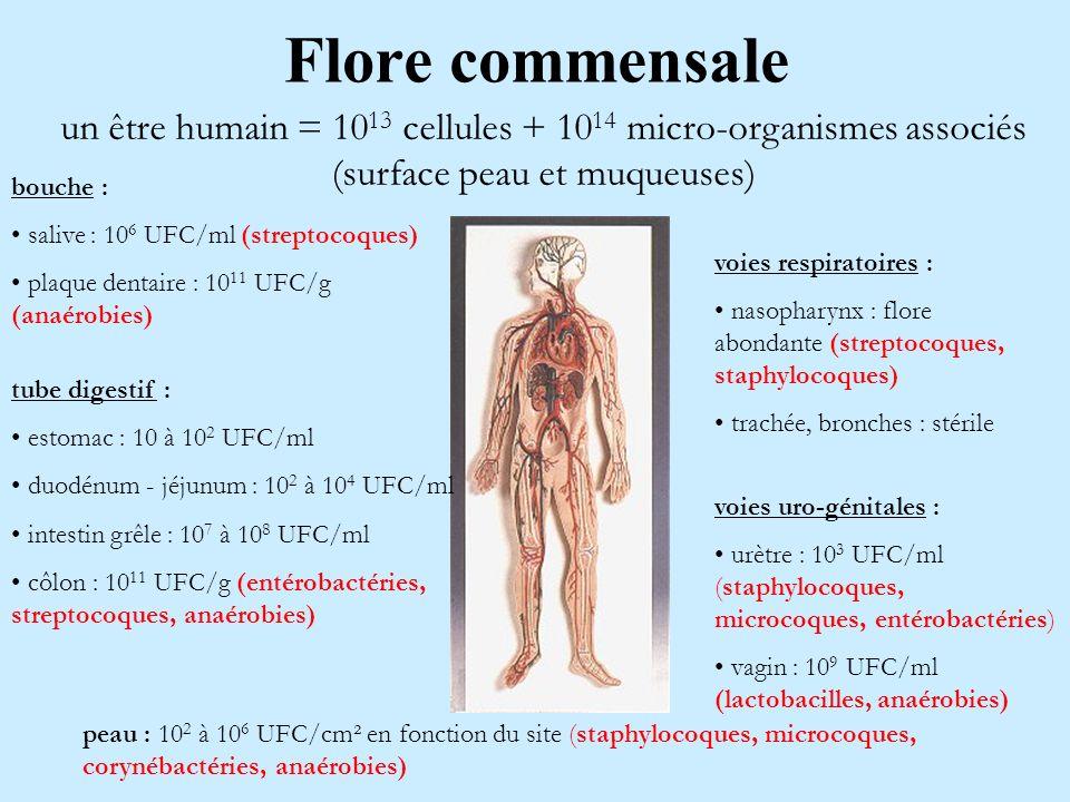 Flore commensale un être humain = 10 13 cellules + 10 14 micro-organismes associés (surface peau et muqueuses) bouche : salive : 10 6 UFC/ml (streptoc