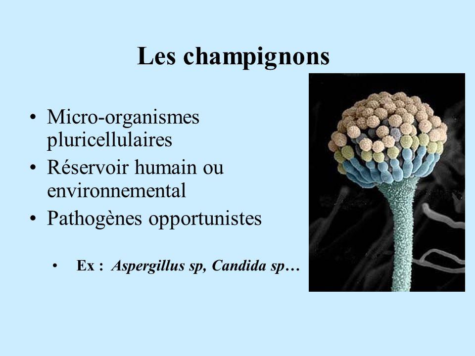 Les champignons Micro-organismes pluricellulaires Réservoir humain ou environnemental Pathogènes opportunistes Ex : Aspergillus sp, Candida sp…