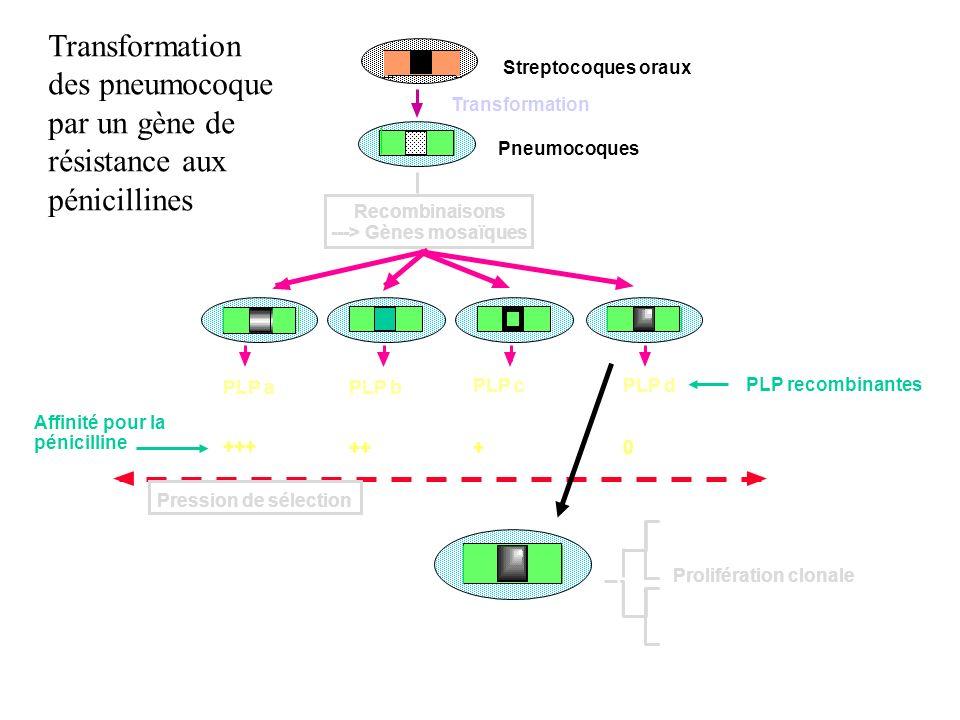 Transformation Recombinaisons ---> Gènes mosaïques Affinité pour la pénicilline PLP aPLP b PLP cPLP d +++ ++ 0 Pression de sélection Prolifération clo
