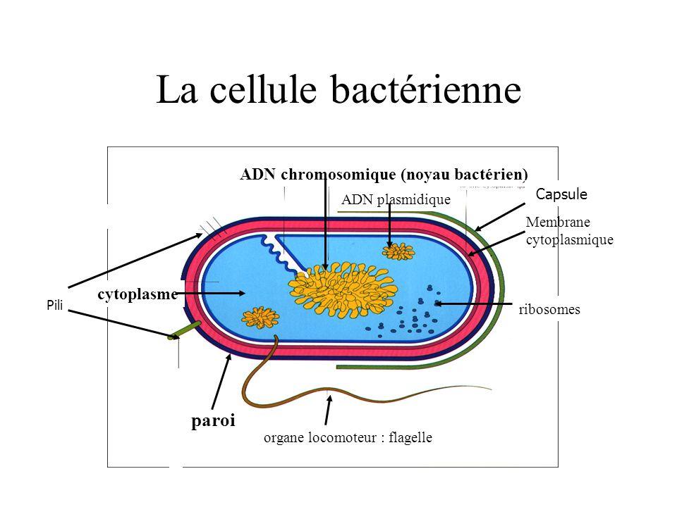 La cellule bactérienne Membrane cytoplasmique paroi cytoplasme ADN plasmidique ribosomes ADN chromosomique (noyau bactérien) organe locomoteur : flage